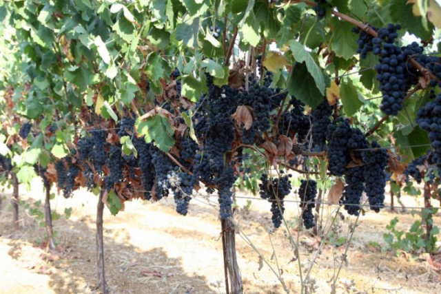 Cyprus cultivated 7781 hectares of vineyards in 2015, most for high quality wine