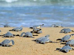 Turtles hatching at Lara beach outside Paphos