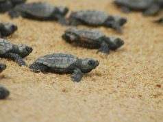 Beautiful young turtles emerged from sand to Ayia Napa beach! (pic)