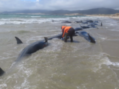 145 Pilot Whales found dead on remote New Zealand beach & nobody knows why (photos)