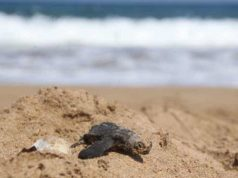 New hurdle for turtles on protected beach