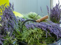 The 8th Lavender Festival in Cyprus