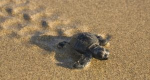 Authorities urged beach-goers to comply with rules to protect turtles