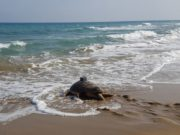 Pambos the loggerhead turtle who loves to travel