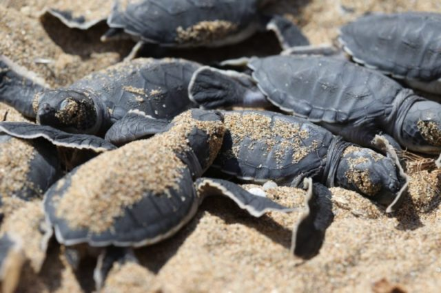 Complaints after tractor disturbs turtle nests on Kiti beach (Video)