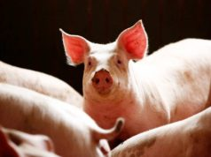 African swine fever spreads near the German border