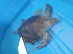 Turtle being nursed back to health after found on beach