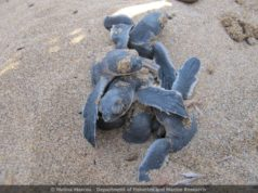 Fisheries Department urges beach-goers to comply with rules to protect turtles