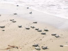 Over 50 sea turtles nest at Kiti-Pervolia's Caretta beach this year