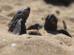 Turtles hatch on rehabilitated Polis beach