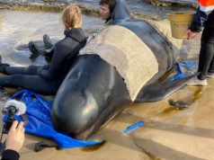 Australia says majority of 470-strong beached whale pod has died