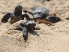 News podcast: Greens slam the government for allowing development on turtle hatching beaches