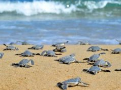 Opposition party protests changed position on protected turtle habitat beaches