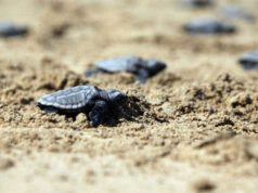 Organised beaches designed to save turtles, fisheries department says