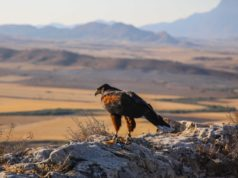 Falconry, Cyprus' intangible cultural heritage