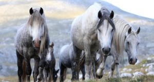 Bosnia's wild horses: Promising tourist attraction, or farmers' pest?