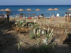 Sea daffodils bloom on the beach in Famagusta (video)